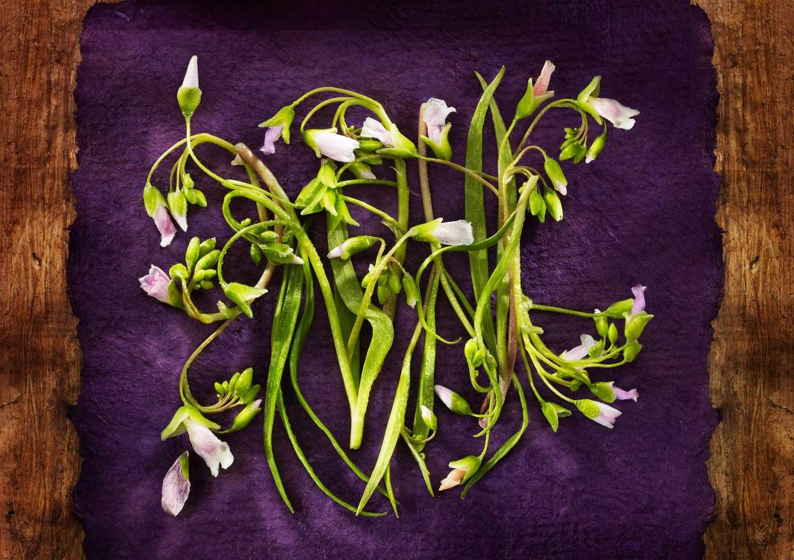 Garnish-Series-3-Claytonia-VirginicaWEB2