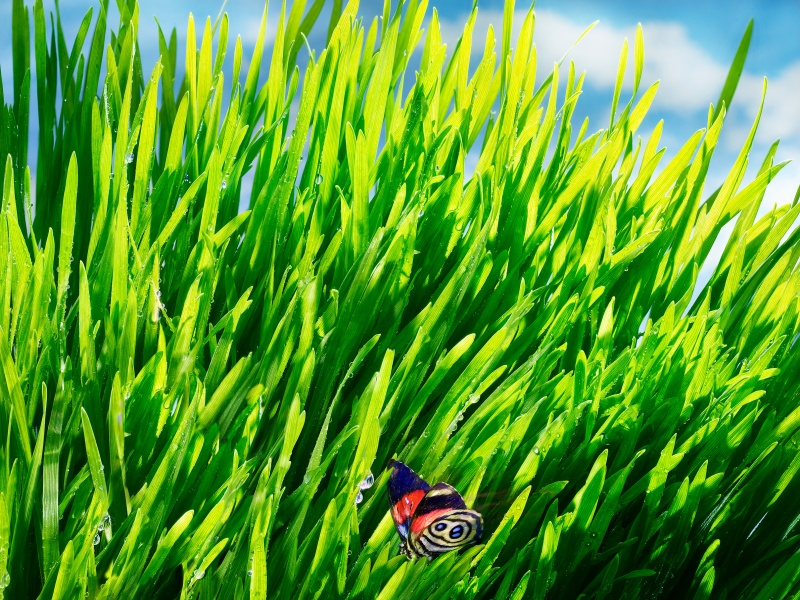 Butterfly in Wheatgrass, butterfly, wheatgrass, crab, vegetables, veggies, salad, animals, delicious, dewy, dew, edible flowers, edibles, food photography, photography, david bishop, still life photography, dramatic lighting david bishop photography