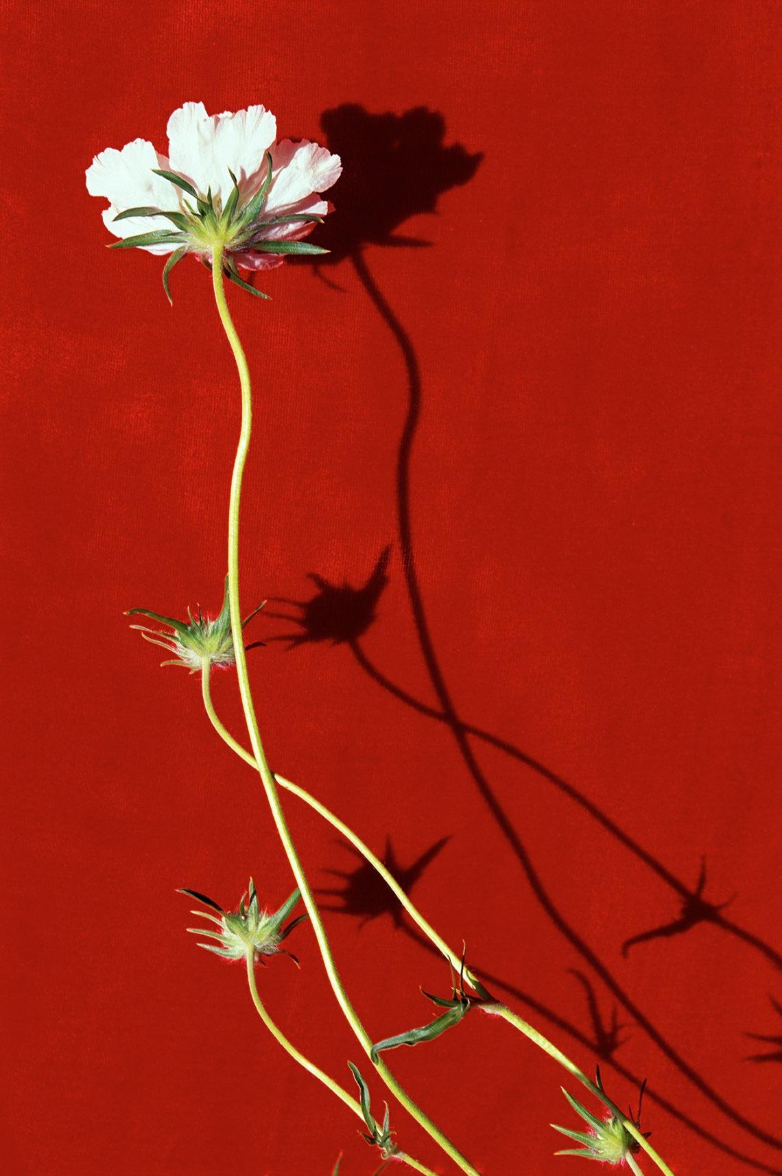 White Armeria Flower on Red