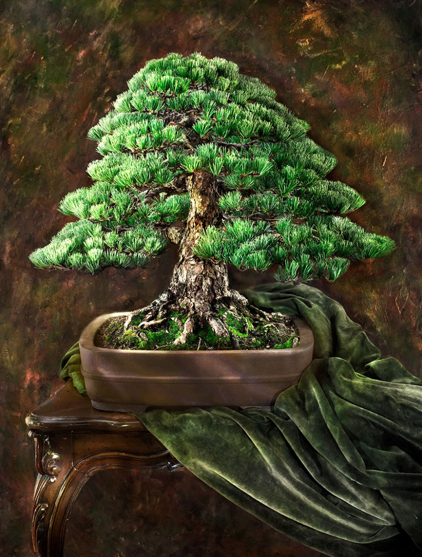 Japanese-White-Pine_Pinne-Parviflora