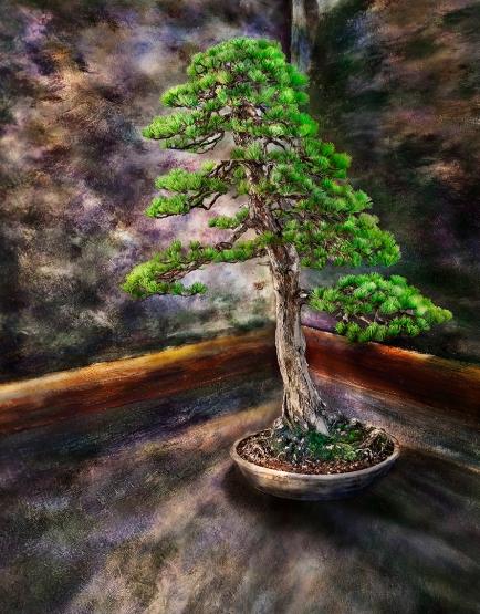 Japanese White Pine_Pinne Parviflora50